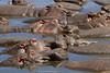 Hipopótamos (Hippopotamus amphibius)/ Common hippopotamus