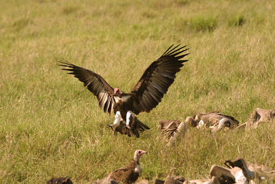 vulture swoops in to join the crunching and munching on a dead waterbufalo