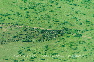 Wildebeest herd migrating, Serengeti, Tanzania