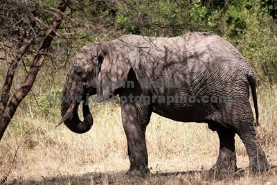 elephant 2-fRN