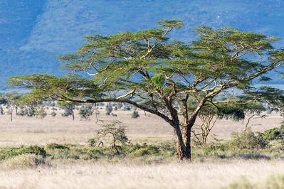 Acacia Tree, Serengeti, Tanzania
