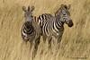 Cebras (Equus quagga)/ zebras
