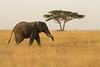Elefante de sabana  (Loxodonta africana)/ African bush elephant