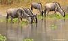 Ñus bebiendo (Connochaetes taurinus)/ Blue wildebeest