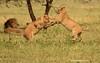 Jóvenes leones jugando (Panthera leo)/ African lion
