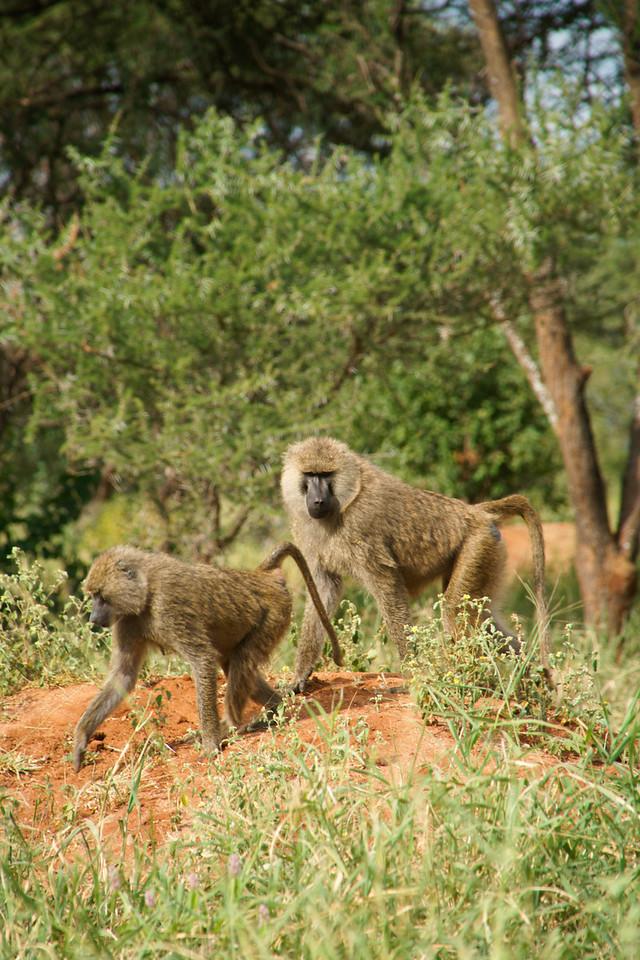 Baboons, Tarangire National Park