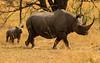 Rinoceronte negro con su cría (Diceros bicornis)/ Black Rhino