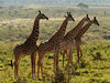 Grupo de jirafas (Giraffa camelopardalis)