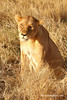 Leona ( Panthera leo)/ African lion