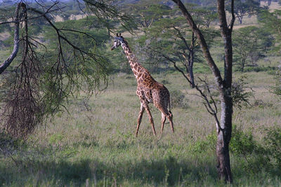 giraffe amoungst some acacia trees.