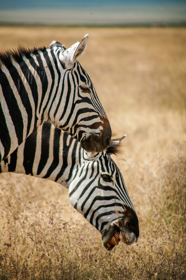 Zebras Snacking