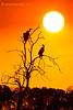 Buitres en la puesta de sol