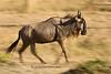 Barrido (Connochaetes taurinus)/ Blue wildebeest
