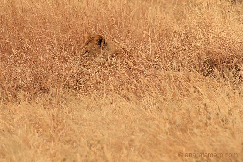 Leona camuflada (Panthera leo)/ African lion
