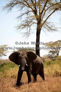 elephant 1-fRN