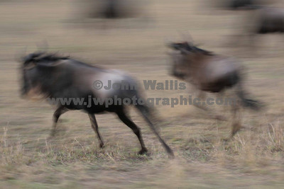 Wildebeast running 1-fRN