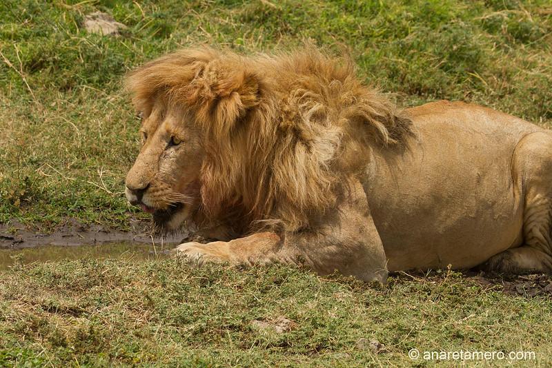 León bebiendo (Panthera leo)/ African lion
