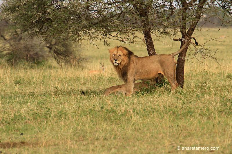 León  (Panthera leo)/ African lion
