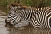 Cebras bebiendo (Equus quagga)/ zebras