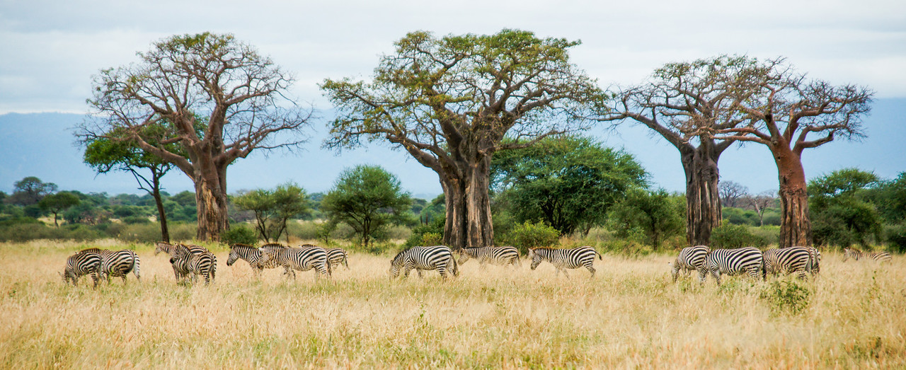 Zebras and Baobabs