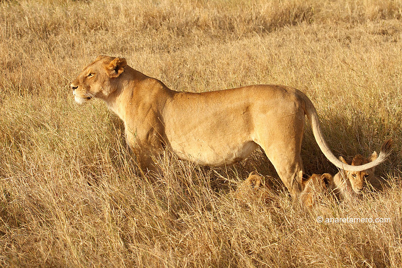 Leona con cachorros (Panthera leo)/ African lion