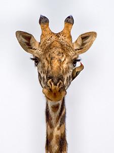 Giraffe with Tick Bird