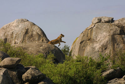 lion jumping to higher ground.