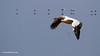 Pelícano común en vuelo /White Pelicans (Pelecanus onocrotalus)