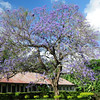 Jacaranda tree behind the Holy Ghost Fathers Health Center at Usa River, outside Arusha, Tanzania.