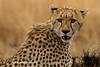Guepardo (Acinonyx jubatus)/ Cheetah