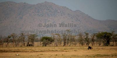 plain skull & wildebeast-fR