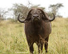 Búfalos (Syncerus caffer)/ African buffalo