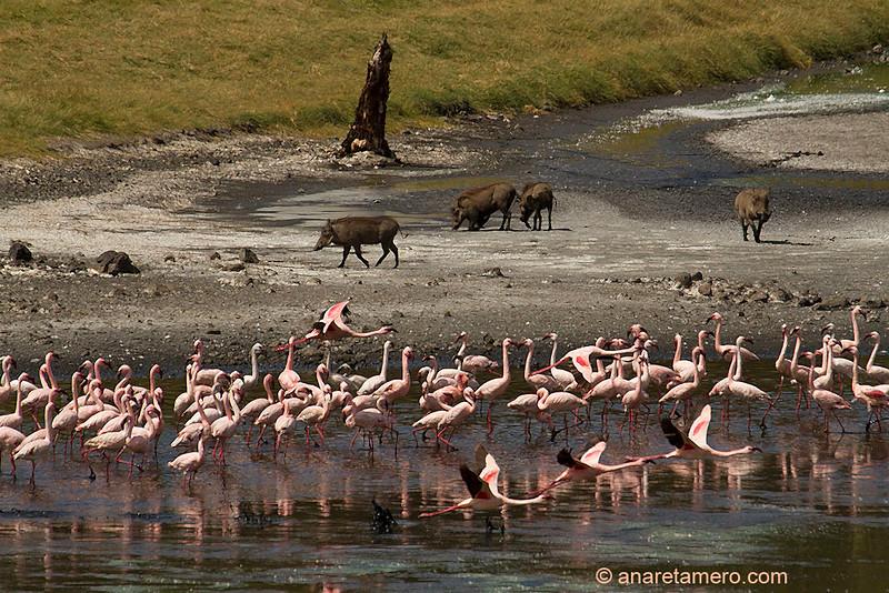 Grupo de flamencos chicos y facoceros (Phoeniconaias minor)/ Lesser flamingo