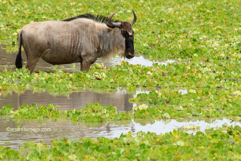 Ñu en laguna con plantas acuáticas (Connochaetes taurinus)/ Blue wildebeest