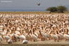Grupo de pelícano común /White Pelicans (Pelecanus onocrotalus)