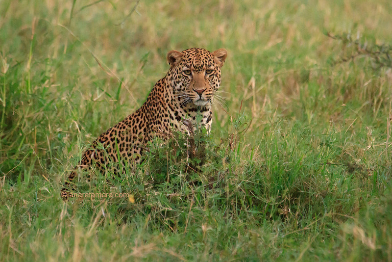 Leopardo ( Panthera pardus) / Leopard