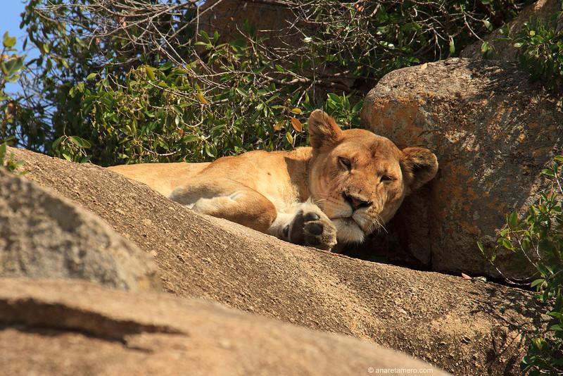 Leona en Kopje (Panthera leo)/ African lion