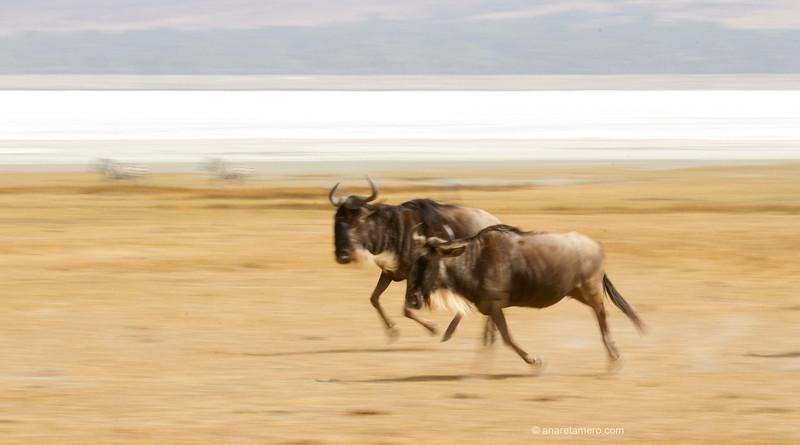 Ñus corriendo (Connochaetes taurinus)/ Blue wildebeest