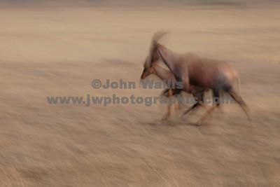 Antelope running-fRN