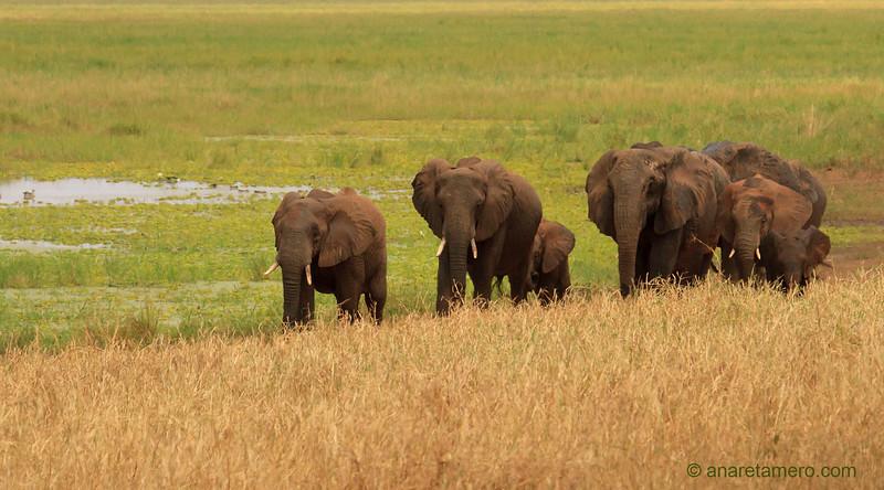 Manada de elefantes de sabana