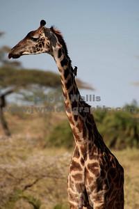 giraffe-fRN