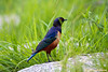 Hildebrandt's Starling<br /> _MG_3180