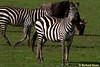 Zebras<br /> _MG_3108