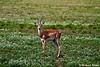 Grant's Gazelle<br /> _MG_3127