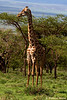 Giraffes<br /> _MG_3050
