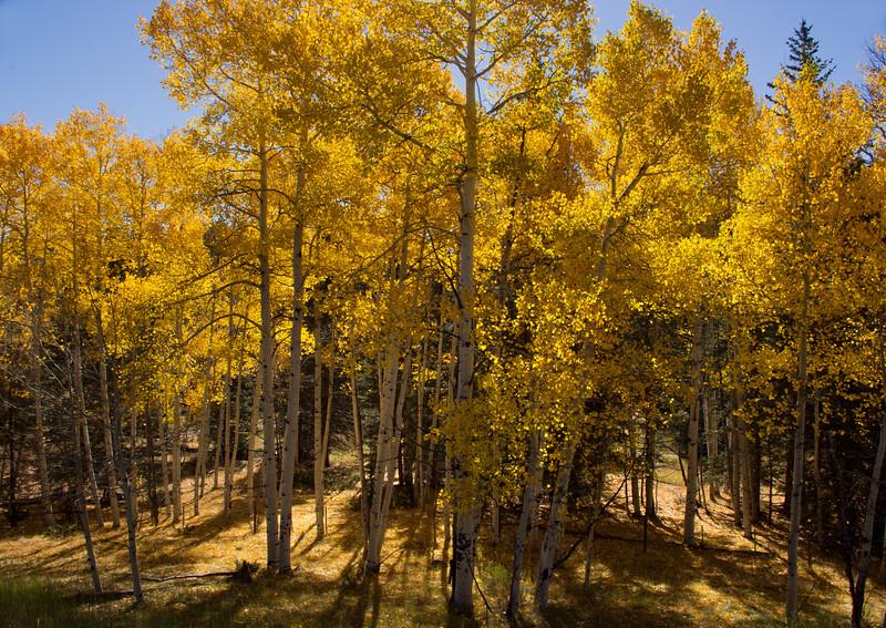 Aspen trees, highway 64 betweeen Tierra Amarilla and Taos, New Mexico.