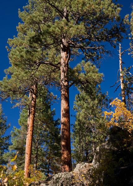 Ponderosa pines. Corkin's Lodge, Tierra Amarilla, New Mexico.