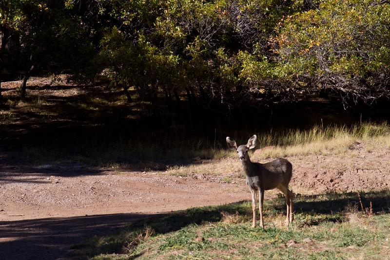 Young mule deer. Corkin's Lodge, Tierra Amarilla, New Mexico