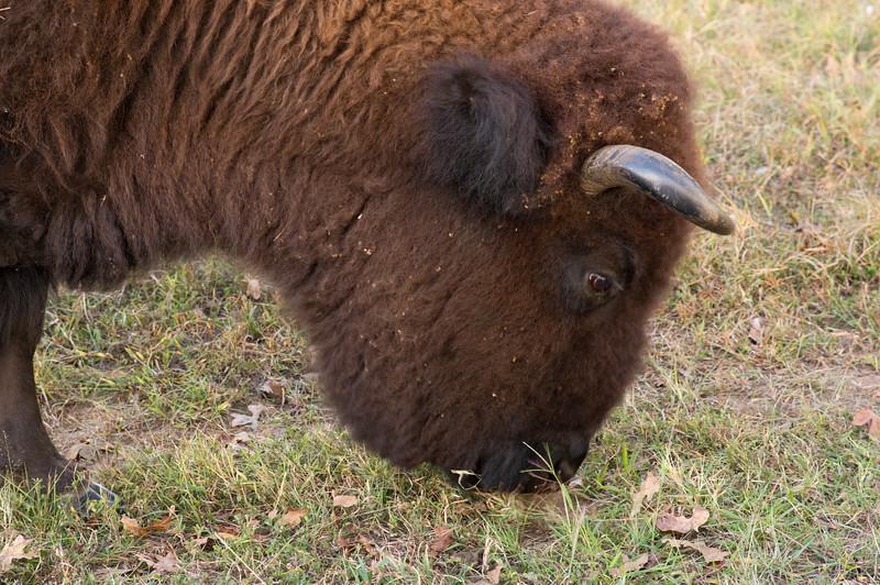 Bison detail; Woolaroc Wildlife Preserve, near Bartlesville, Oklahoma.