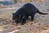 Young Tasmanian Devil eating